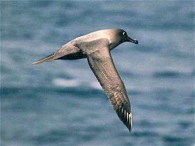 File:Light sooty albatross flying.jpg