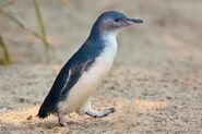 Little Penguin Feb09