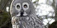 Arthur (owl)