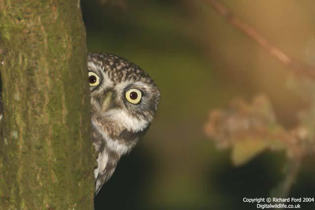 File:Little owl 4844 RT8 peekaboo lw.jpg