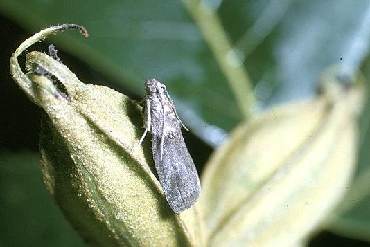File:Acrobasis nuxvorella.jpg