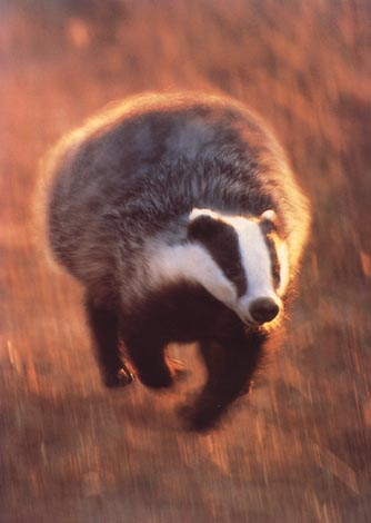 File:Realbadger.jpg