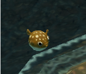 File:Puffer-fish taken from the water.PNG