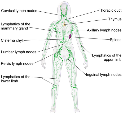 File:Lymphatic system.png