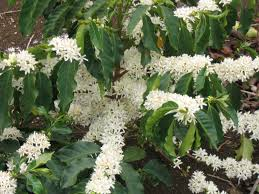 File:Coffee plant.jpg