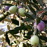 File-Olivesfromjordan