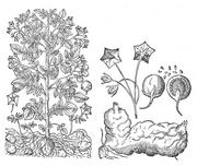 Solanum tuberosum Bauhin.png