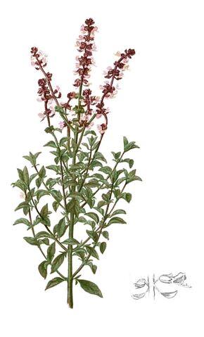 Archivo:Ocimum basilicum.jpg
