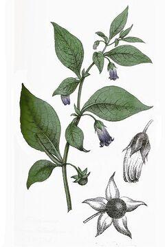Atropa belladonna L.