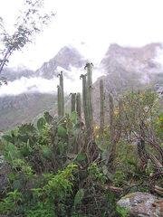 Echinopsis-pachanoi-Peru.jpg