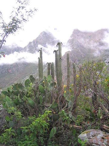 Archivo:Echinopsis-pachanoi-Peru.jpg
