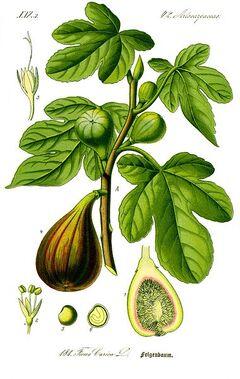 ilustración de la Flora de Alemania de Thomé