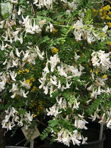 Archivo:Dresde-Sophora viciifolia 01.jpg