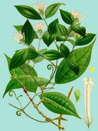 Strychnostoxifera.png