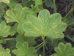 Planta de la Alquémila