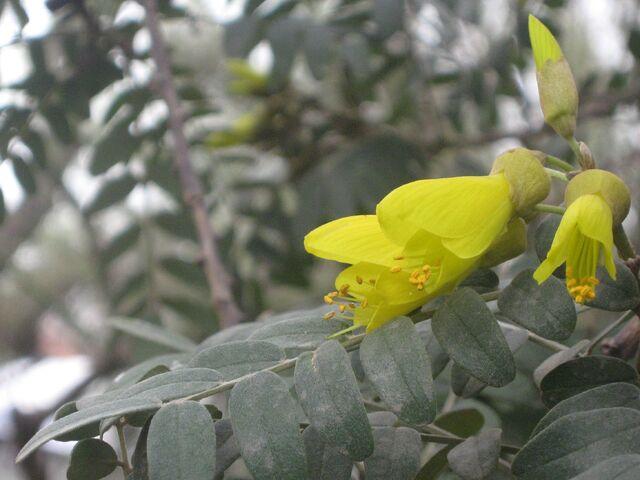 Archivo:Sophora macrocarpa.jpg