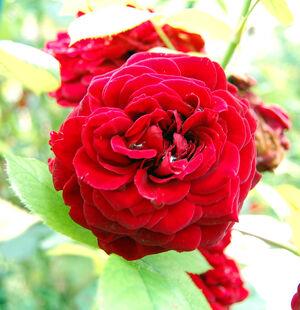 Rosa Fleur.jpg