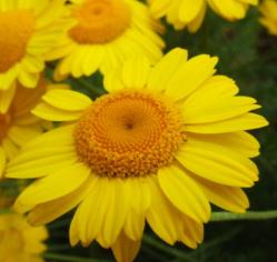 Archivo:Magnoliopsida.png