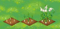 Farm-Garlic 123