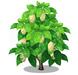 Morinda Tree