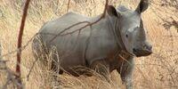 DW: Rhinoceros