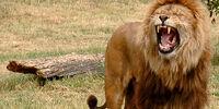 DW: Lion