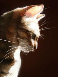 Bengalcat