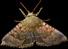 File:HO BriggsRoseGarden Moth-icon.png