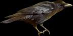 File:HO RomanyCamp Raven-icon.png