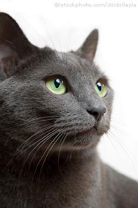File:Russian blue cat.jpg