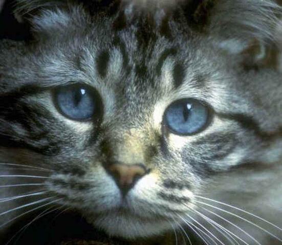 File:Copy of blue eyed cat.jpg