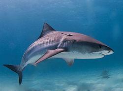 File:1250px-Tiger shark.jpg