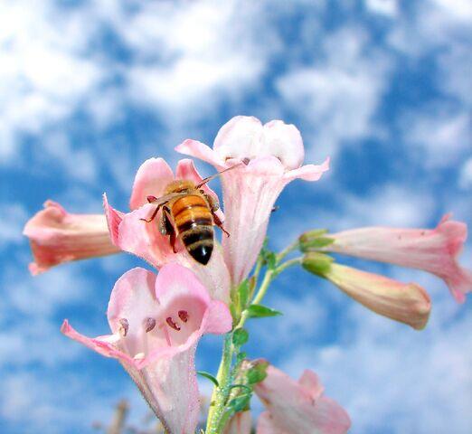 File:Pink Penstemons-3139.jpg