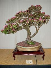 Azalea (Rhododendron)