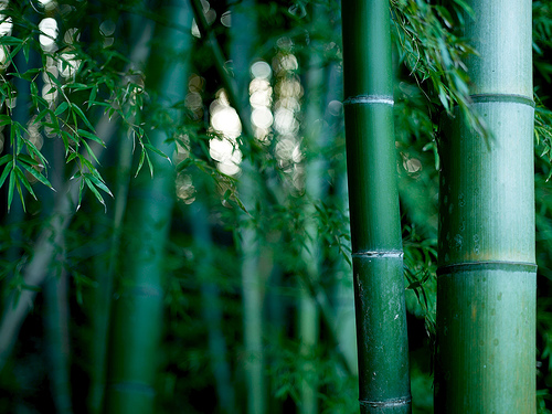 File:Bamboo thicket.jpg