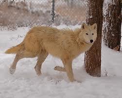 File:Lemon Wolf.jpg