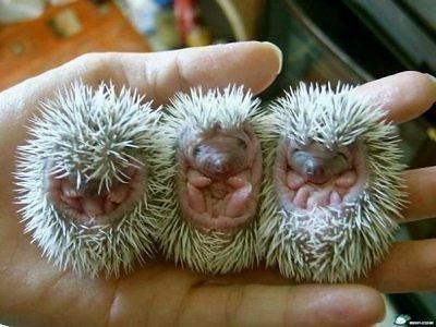 File:Baby-animals-hedgehogs.jpg