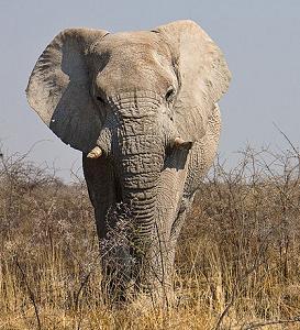 File:Elefant.jpg