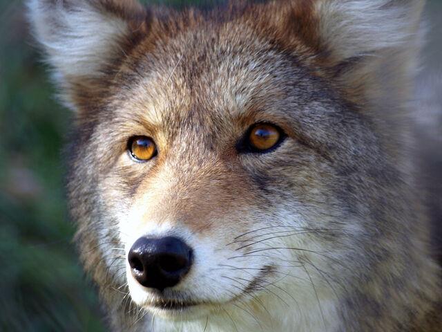 File:Golden-eyes-2.jpg