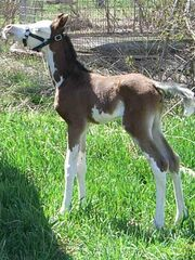 Stmeureka as a foal