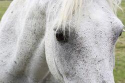 Dn fleabitten grey pony close up by chunga stock-d78zkqh