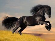 Friesen-stallion-gallop-in-sunset 1250476930