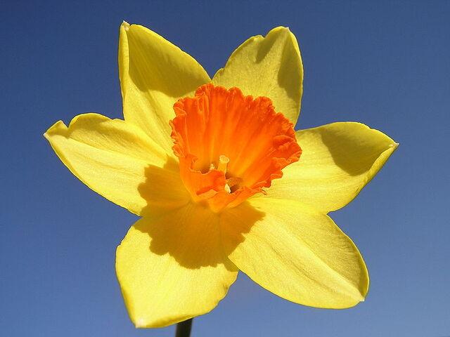 File:800px-Narcissus-closeup.jpg