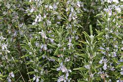 800px-Rosemary bush