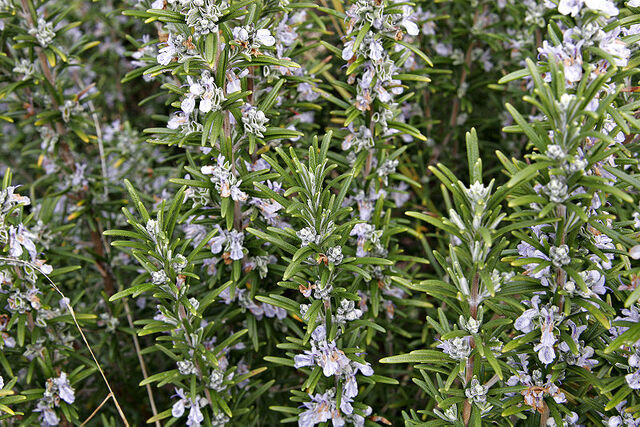 File:800px-Rosemary bush.jpg