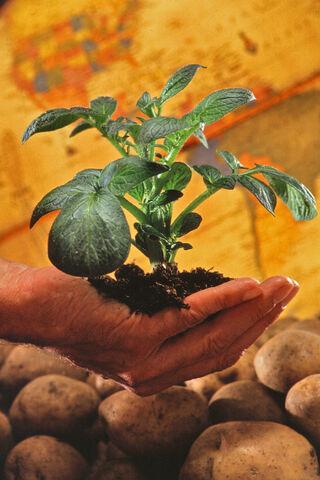 File:Potato plant.jpg