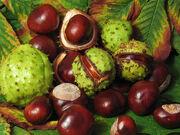 Aesculus hippocastanum fruit