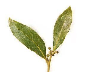 741px-Bay leaf pair443