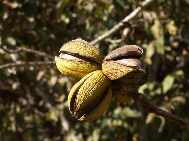 File:Pecan-nuts-on-tree.jpg
