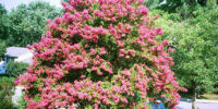 Growing Crepe Myrtles